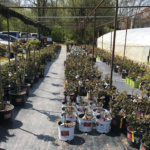 Hewitt rose inventory