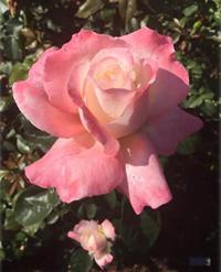 Crescendo hybrid tea rose