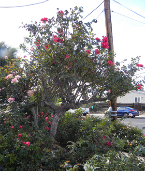 2018-10-29-ARS-large-rose