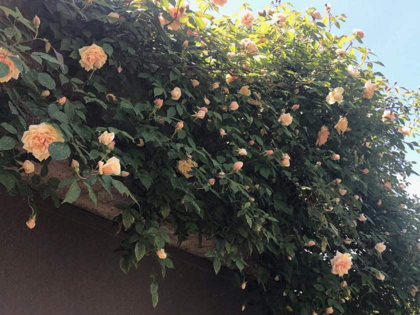Climbing Rose Reve d' Or in full bloom