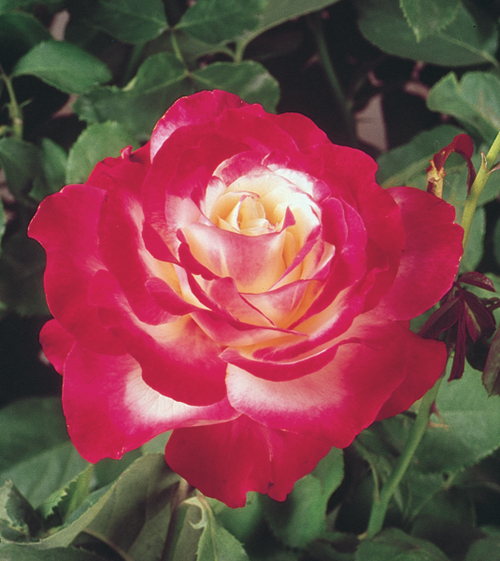 Double Delight, hybrid tea