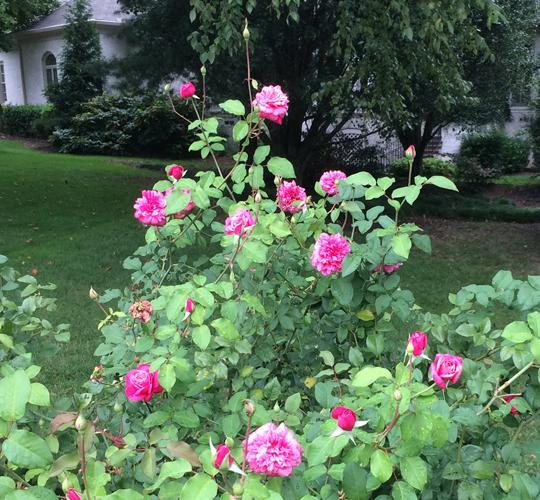 Old Garden Roses (OGR) - Nashville Rose Society